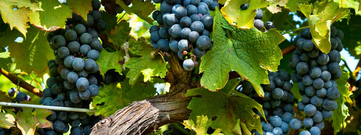 Grapes on the Vine, God's Abundant Provision for His People